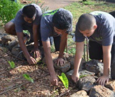 kids planting taro plants